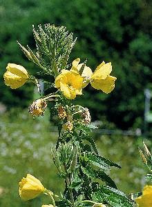 oenothera-biennis-onagra-aceite-acne.jpg